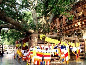 Дерево Бодхи, Бодх Гайя, Индия